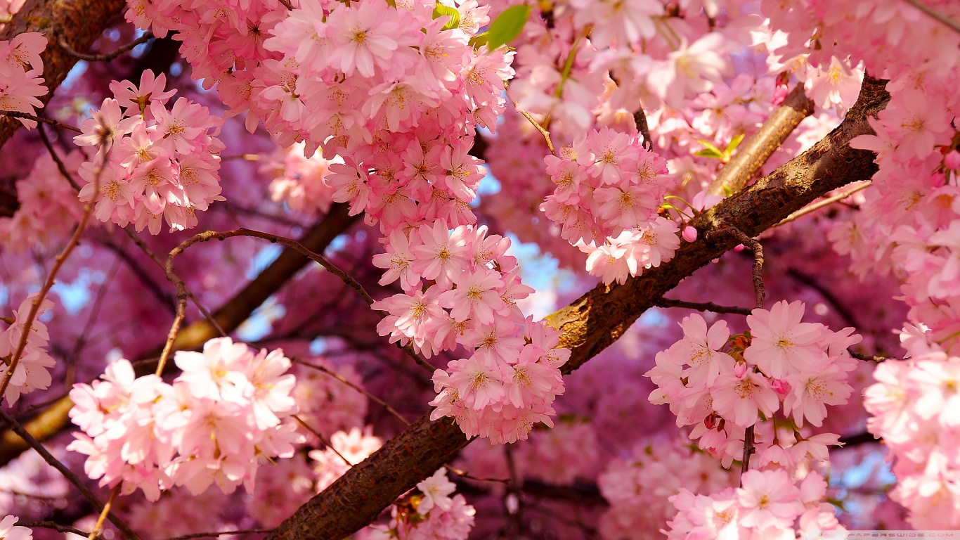 Cherry-Blossom-japanese-cherry-tree-sakura-37503987-1366-768