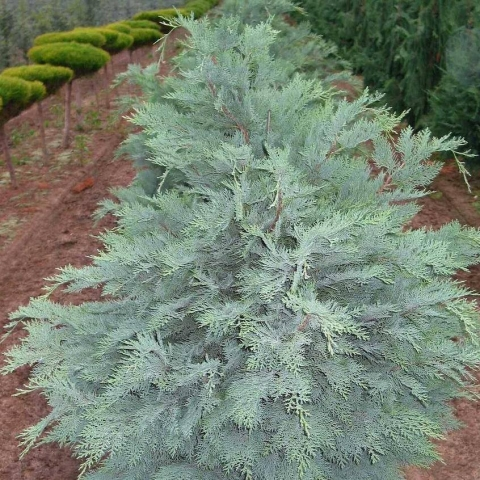 CHAMAECYPARIS LAWSONIANA SPEEK - Plavi lavsonov pačempres. Visina sadnice 1,0m - cena 1.200,oo dinara.