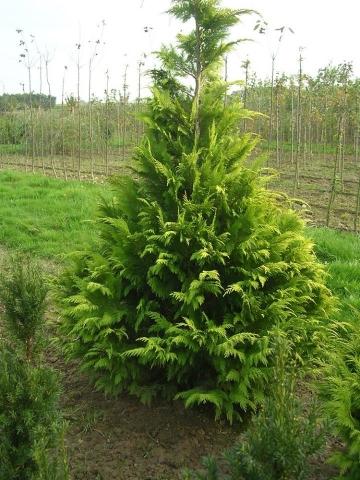 CHAMAECYPARIS LAWSONIANA LANE - Zlatni lavsonov pačempres. Visina sadnice 1,3m.