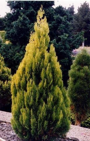 THUJA ORIENTALIS AUREA - Zlatna istočna tuja. Visina sadnice 1,0 do 1,2m.