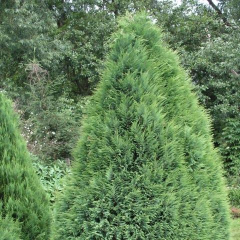 CHAMAECYPARIS LAWSONIANA POTTENII - Kupasti lavsonov pačempres. Visina sadnice 1,2m.