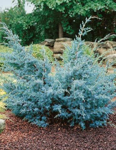 JUNIPERUS CHINENSIS BLUE ALPS - Plava žbunasta kineska kleka. Visina sadnice 1,0m.