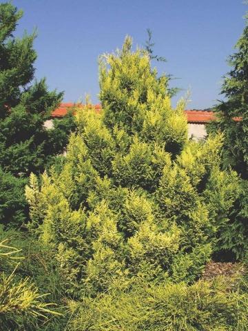 CHAMAECYPARIS LAWSONIANA PLUMOSA AUREA - Zlatni pegavi pačempres. Visina sadnice 1,3m.
