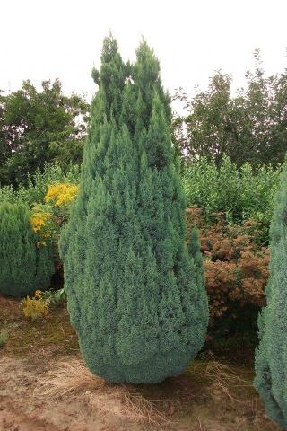 CHAMAECYPARIS LAWSONIANA FLETCHERII - Plavi lavsonov pačempres. Visina sadnice 1,3m.