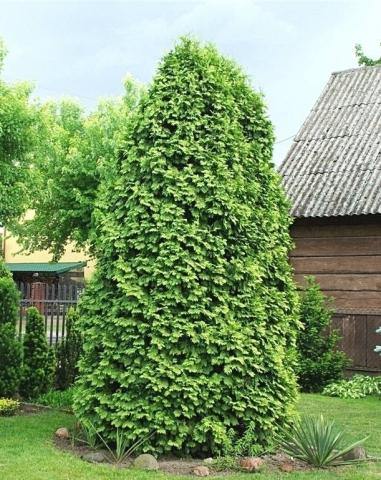 THUJA OCCIDENTALIS WARAEANA LUTESCENS - Bela tuja. Visina sadnice 0,8m.