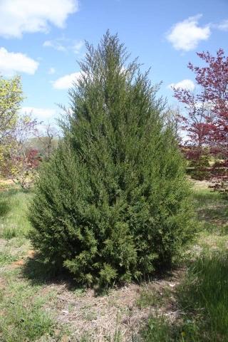 JUNIPERUS VIRGINIANA - Virdžinijska kleka. Visina sadnice 1,0m.