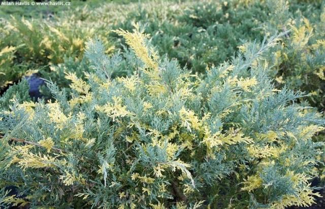 JUNIPERUS CHINENSIS BLUE & GOLD - Šarena kineska žbunasta kleka. Prečnik sadnice 0,5 do 0.7m.