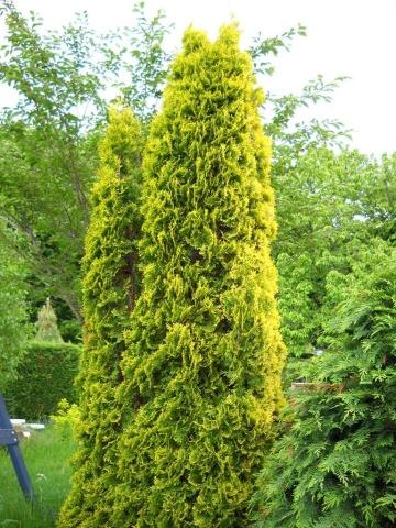 THUJA OCCIDENTALIS MALONYANA AUREA - Zlatna stubasta tuja. Visina sadnice 0,8m.