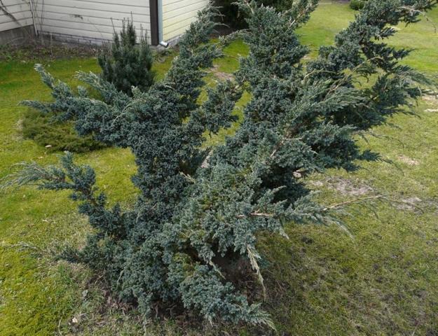 JUNIPERUS SQUAMATA MEYERII - Žbunasta plava himalajska kleka. Visina sadnice 0,6m.