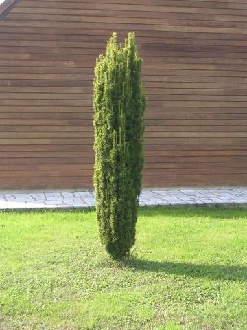 TAXUS BACCATA FASTIGIATA AUREA - Valjkasta zlatna tisa. Visina sadnice 0,5m.