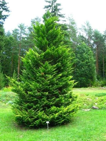 CHAMAECYPARIS LAWSONIANA - Lavsonov pačempres. Visina sadnice 1,3m.