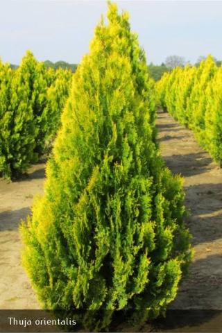 THUJA ORIENTALIS ELEGANTISSIMA - Zlatna tuja. Visina sadnice 1,0 do 1,2m.