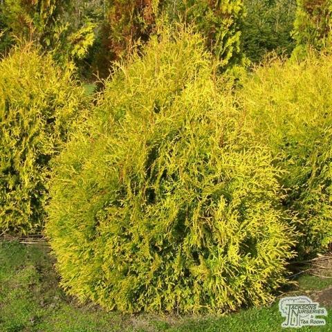 THUJA OCCIDENTALIS RHEINGOLD - Zlatna kiša- Visina sadnice 0,8m.