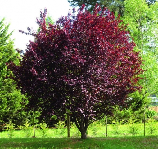 PRUNUS CERASSIFERA PIISARDII - Crvenolisna šljiva. (KALEMLJENA) Visina sadnice 1,8 do 2,5m.