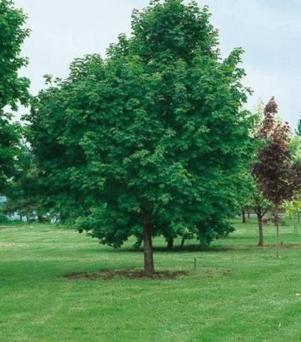 ACER PLATANOIDES - Gorski javor. Visina sadnice 3,0 do 3,5m.