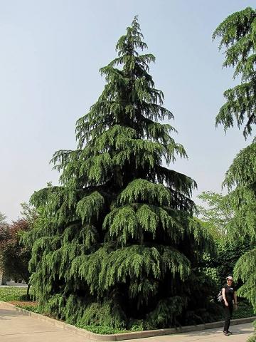 CEDRUS DEODARA - Himalajski kedar. Visina sadnice 1,8m.