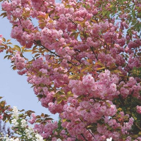 PRUNUS SERRULATA KANSAN - Japanska trešnja (KALEMLJENA). Visina sadnice 2,5m.