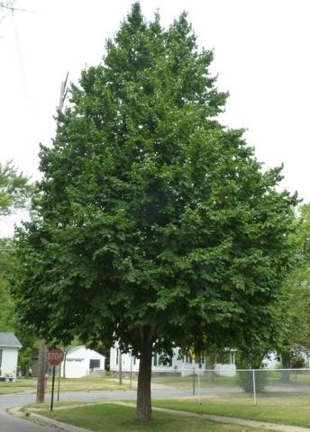 CORYLUS COLURNA - Medveđa leska. Visina sadnice 1,8m.