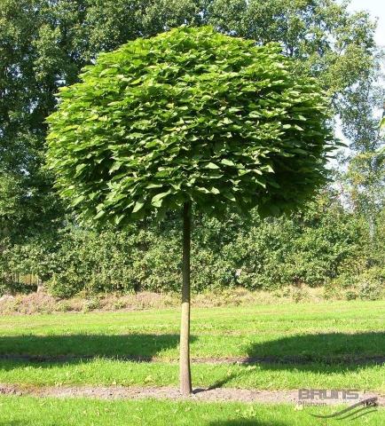 CATALPA BIGNONIOIDES NANA - Loptasta katalpa. (KALEMLJENA) Visina sadnice 2,5m.