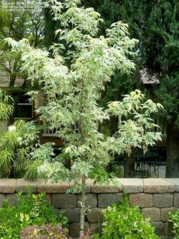 ACER NEGUNDO VARIEGATUM - Šarenolisni javor. Visina sadnice 2,0 do 2,5m. (KALEMLJEN)