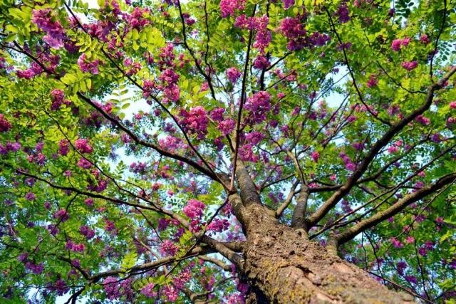 ROBINIA PSEUDOACCACIA CASQUE ROUGE - Ružičasti bagrem (KALEMLJEN) Visina sadnice 2,5 do 2,8m.