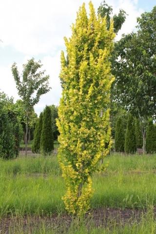 ULMUS HOLANDICA WREDEII - Zlatni stubasti brest. (KALEMLJEN). Visina sadnice 1,8 do 2,2m.
