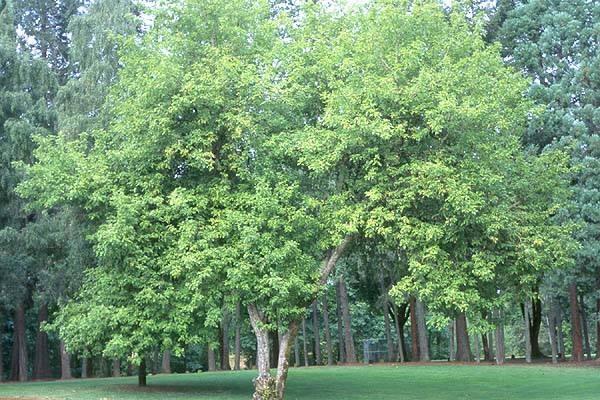 FRAXINUS ORNUS - Crni jasen. Visina sadnice 1,8 do 2,2m.