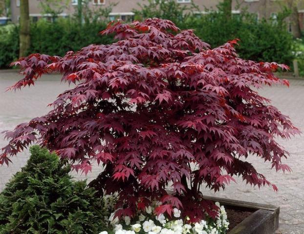 ACER PALMATUM ATROPURPUREUM - Crveni japanski javor. Visina sadnice 0,5m.