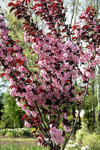 PRUNUS SERRULATA ROYAL BOURGUNDY - Crvenolisna japanska trešnja (KALEMLJENA). Visina sadnice 2,0m.
