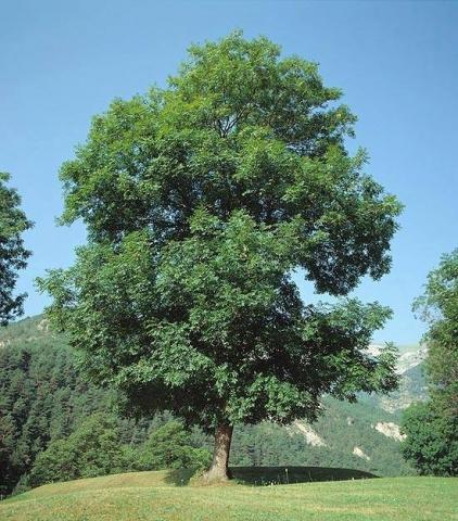 FRAXINUS EXCELSIOR - Beli jasen. Visina sadnice 2,0 do 2,5m.