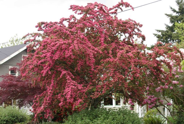 CRATEGUS OXYACANTHA FLORA PLENA - Ružičasti glog (KALEMLJEN). Visina sadnice 1,8m.