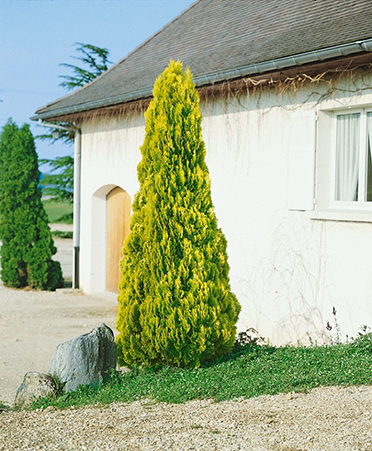 THUJA ORIENTALIS AUREA - Zlatna istočna vretenasta tuja. Visina sadnice 1,1m - cena 1,200,oo dinara.