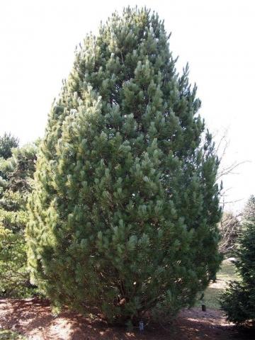 Pinus cembra Conica - Kupasti bor. Visina sadnice 0,6m, cena 3.500,oo dinara