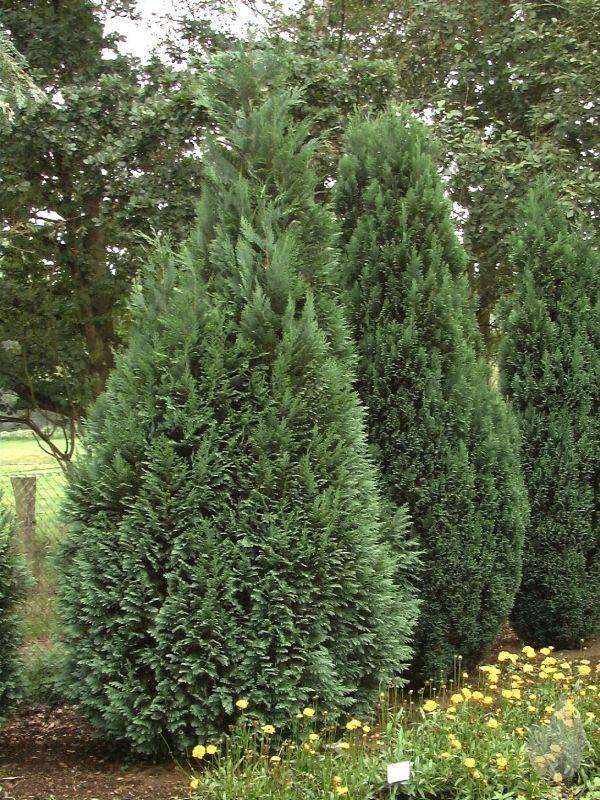 CHAMAECYPARIS LAWSONIANA ALUMII - Vretenasti lavsonov pačempres. Visina sadnice 1,2m - cena 1.000,oo dinara.