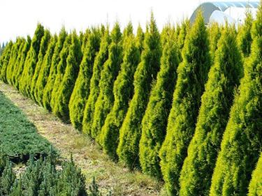 THUJA OCCIDENTALIS MALONYANA AUREA - Zlatni smaragd. Visina sadnice 1,2m - cena 1.200,oo dinara.
